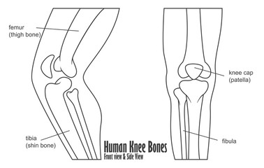 Human knee bones front and side view anatomy
