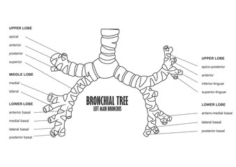 Bronchial Tree left main bronchus human anatomy