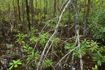 Wild landscape of Australian mangroves in Daintree National Park