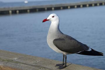 Heermann's gull, full body view on dock