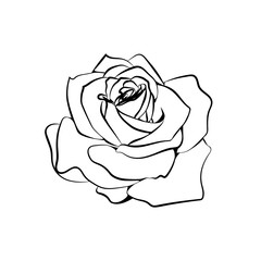 Rose sketch on white background