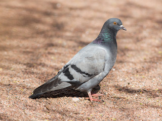 gray pigeon on the ground