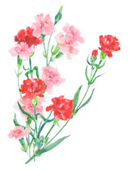 watercolor illustration with carnation isolated