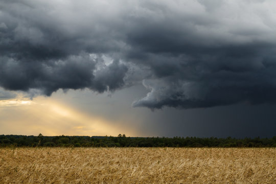 Wheat field and storm
