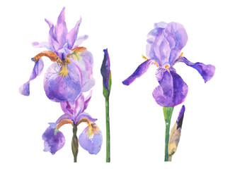 watercolor illustration with iris isolated