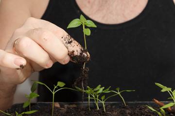 A pick tomato seedlings