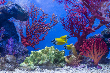 Beautiful yellow sea Fish and coral tank