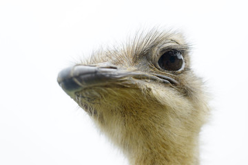 Portrait of ostrich (Struthio camelus) in captivity, Spain.