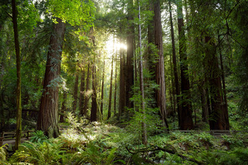 Hiking trails through giant redwoods in Muir forest near San Francisco, California