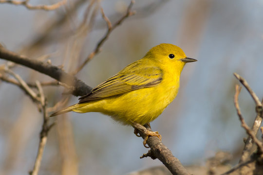 Bright yellow warbler bird perched in the sunlight with the forest and blue sky in the background