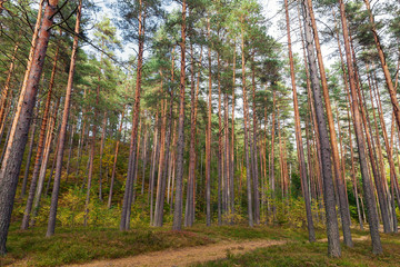 Forest landscape, footpath and pine trees