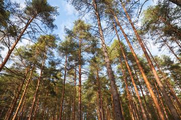 European forest landscape, wild pine trees