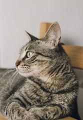 Tabby cat portrait lying on a table.