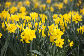 Yellow Daffodils (Narcissus) flowers