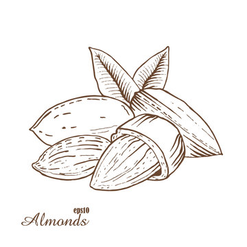 Almonds. Woodcut style. Hand drawn sketch walnut. Vector illustration.