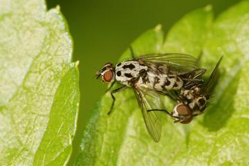 Fly - Anthomyia pluvialis - Copulation