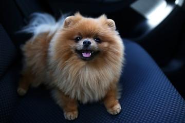 Pomeranian dog. Dog in a car