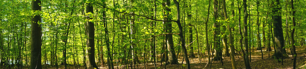 Beech forest scenery in panorama