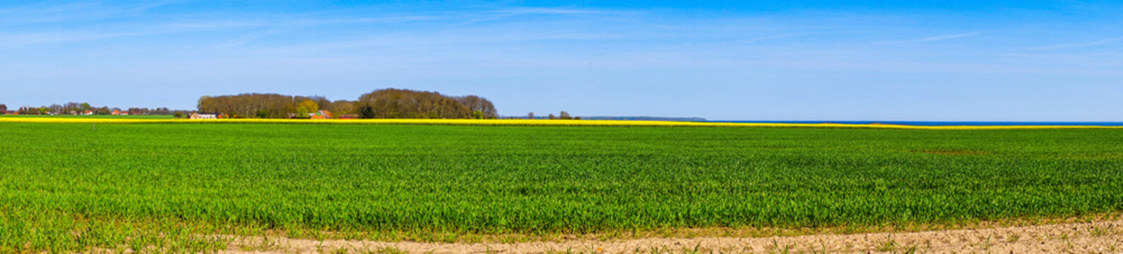 Panorama landscape with a canola field