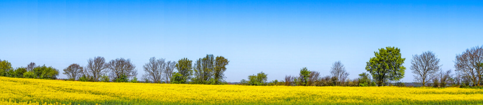 Rapeseed field in blue sky in panorama