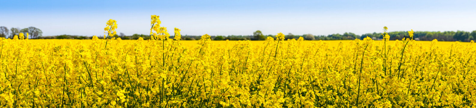 Rapeseed flowers in the spring