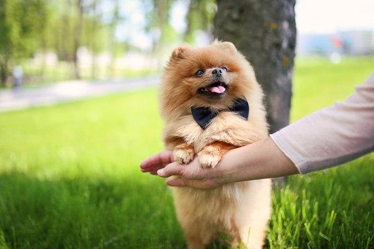 Pomeranian dog on green grass. Dog outdoor. Beautiful dog. Spitz