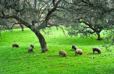 Iberian pig herd in the pasture, Spanish Product