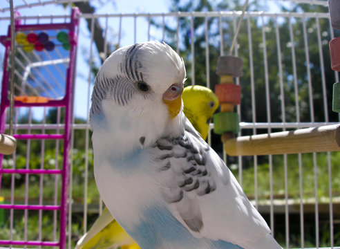 Blue white wavy parrot in a cage
