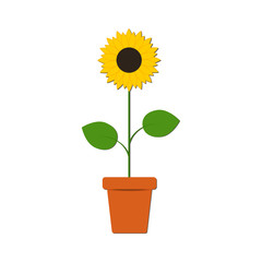 Sunflower in the pot on the white background