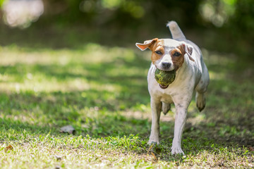Jack Russell Terrier Running Towards The Camera