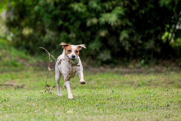 Parson Russell Terrier Dog Running With Speed