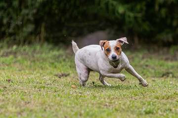 Jack Russell Terrier Female Dog Jumping On Meadow