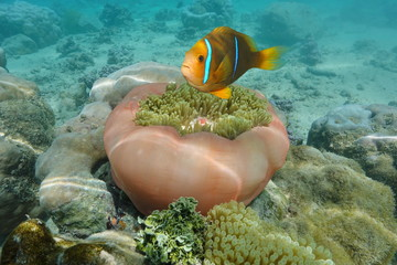 A tropical fish orange-fin anemonefish and a Magnificent sea anemone, Pacific ocean, French Polynesia