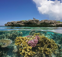 Tropical fish and cauliflower coral in shallow water, Moorea lagoon, Pacific ocean, French Polynesia