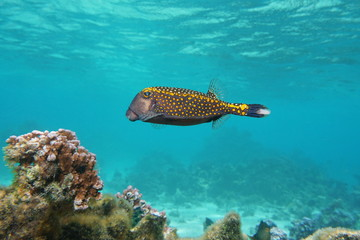 Tropical fish, a male white-spotted boxfish, Ostracion meleagris, Pacific ocean, underwater in the lagoon of Huahine island, French Polynesia