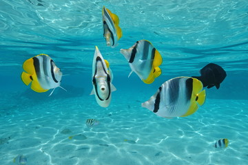 Tropical fish Pacific double-saddle butterflyfish, underwater in the lagoon, Pacific ocean, French Polynesia