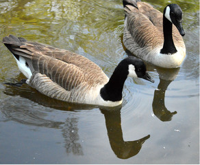 Canada geese on water with reflection