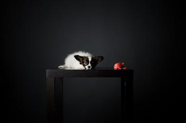 Papillion puppy in the studio