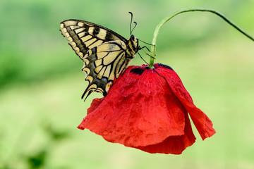 farfalla, macaone