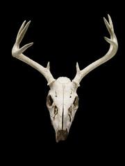 deer skull displayed on black background.
