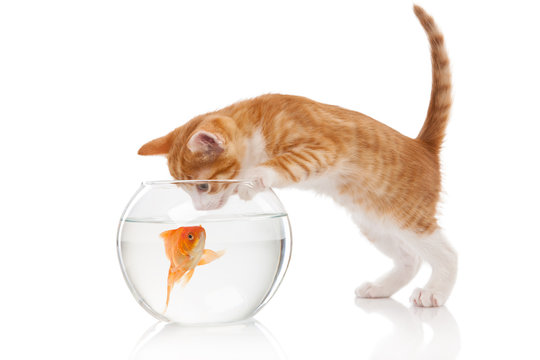Cat and an aquarium with fish