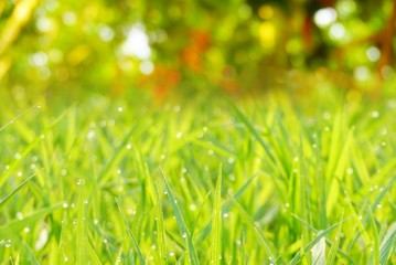 defocused green grass nature bokeh spring or summer background