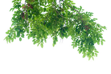 Wall Mural - green leaves on white background