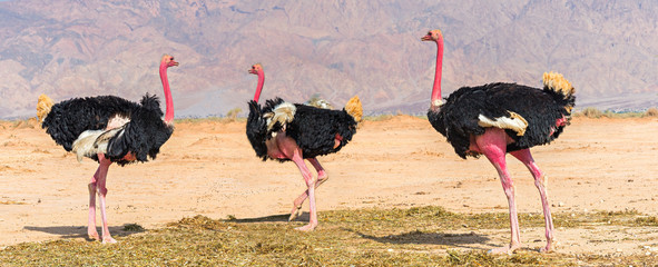 Males of African ostrich (Struthio camelus) in desert nature reserve near Eilat, Israel