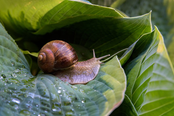 hosta leaves with snail. artistic snail photography. snail closeup on green leaf with snail shadow.