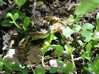 Cascades Frog in Dappled Light
