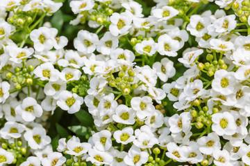 アリッサムの花と蕾