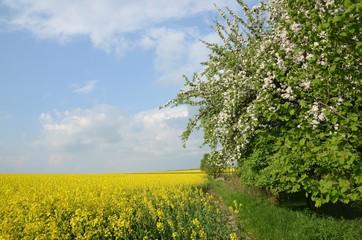 Blühende Bäume am Rapsfeld