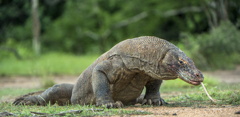 Komodo dragon with the flicked out tongue. The Komodo dragon ( Varanus komodoensis ) is the biggest living lizard in the world.