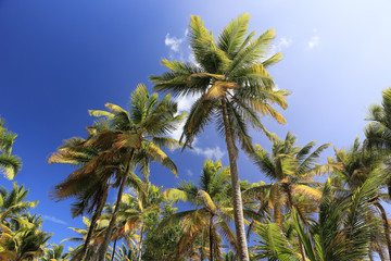 Palm trees on blue sky and white clouds on Martinique, perspecti